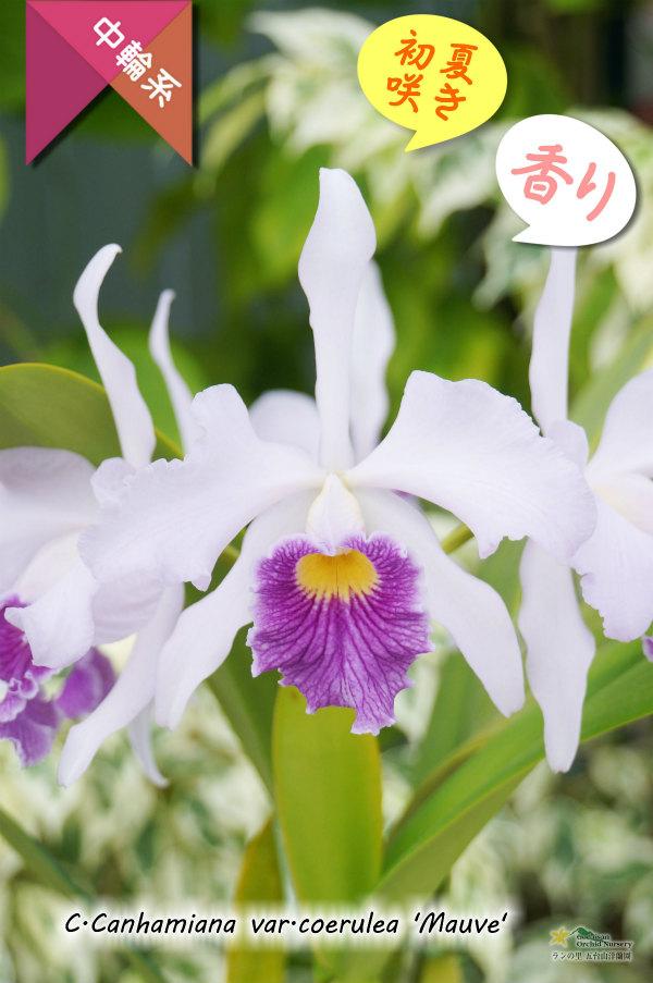 画像1: 【初夏咲き・ブルーカトレア】C.Canhamiana coerulea'Mauve'(交配種)カトレア カンハミアナ セルレア 'モーブ' (1)