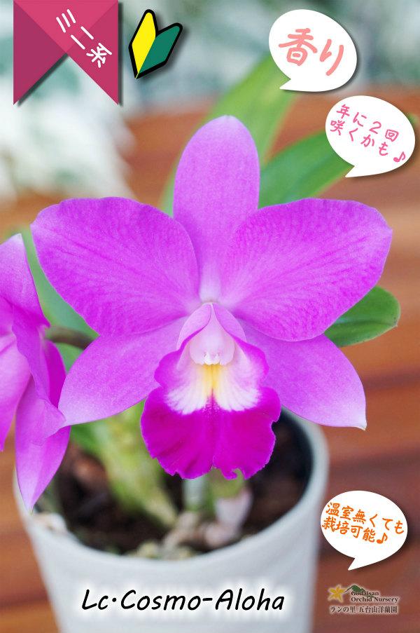 画像1: 【発色の良いミニカトレア】Lc.Cosmo-Aloha(交配種)カトレア コスモ - アロハ (1)