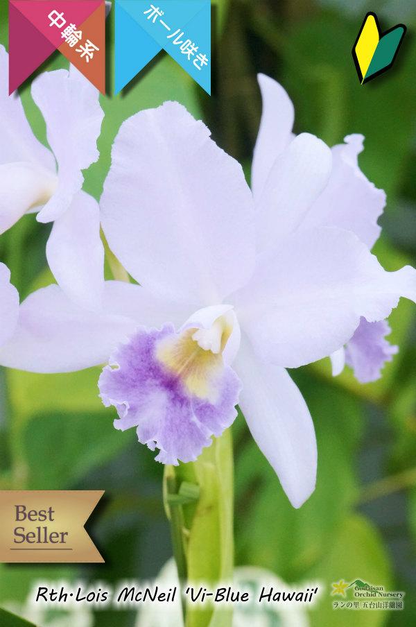 画像1: 【ブルー系中輪ボール咲きカトレア】Rth.Lois McNeil 'Vi-Blue Hawaii' (交配種) カトレア系 ロイスマクネイル 'ビ-ブルーハワイ' (1)
