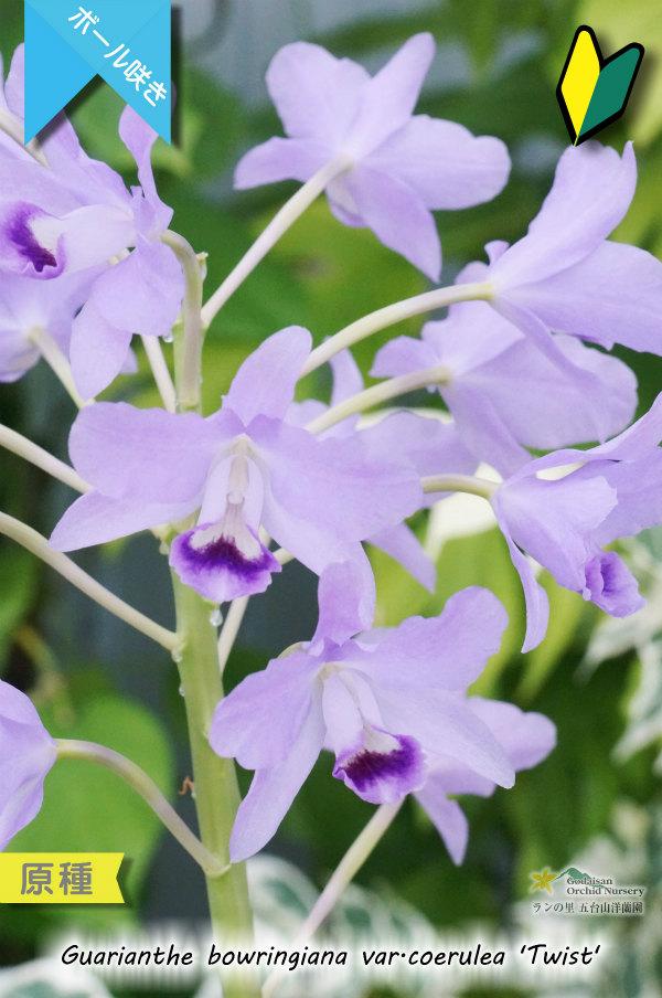 画像1: 【ブルー系・ボール咲きカトレア原種】Gur.bowringiana var.coerulea 'Twist' (原種)グアリアンセ ボーリンギアナ セルレア 'ツイスト' (1)