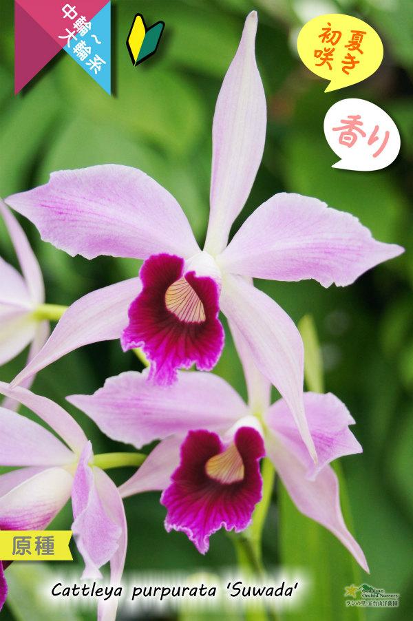 画像1: 【初夏を代表するカトレア原種】C.purpurata 'Suwada'(原種)カトレア パープラータ 'スワダ' (1)