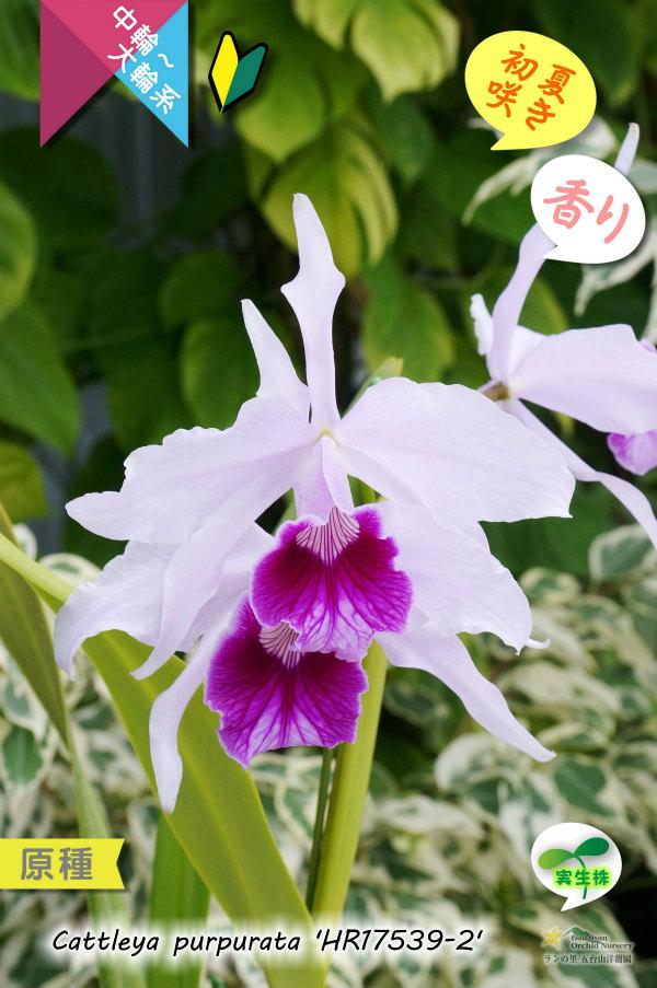 画像1: 【初夏を代表するカトレア原種】C.purpurata 'HR17539-2'(原種)カトレア パープラータ 'HR17539-2' (1)