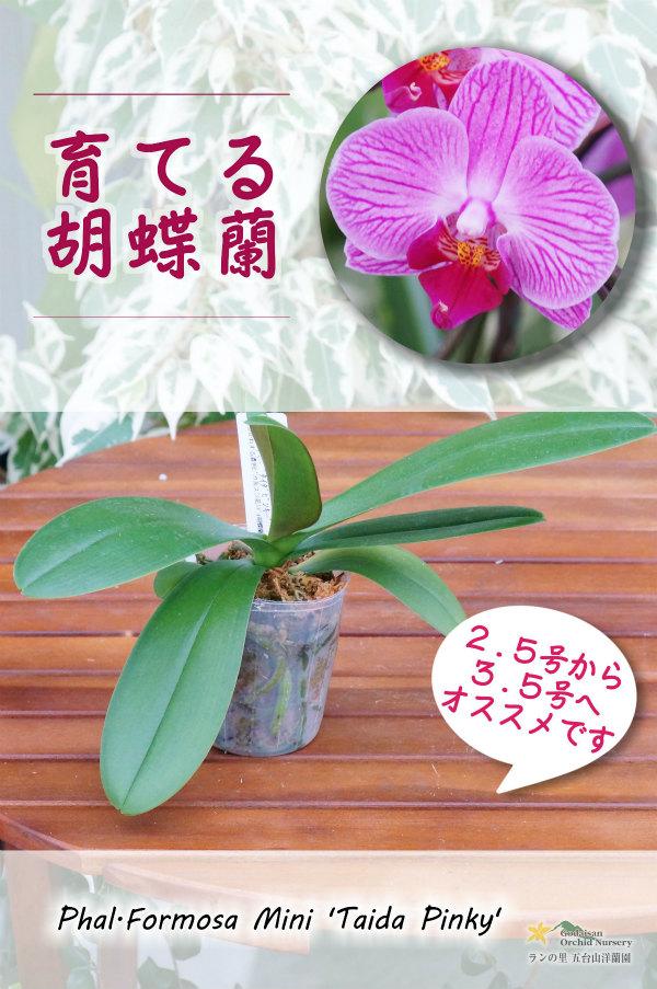 画像1: 【育てる胡蝶蘭・うれしい花芽付き♪】【濃色ピンクのストライプがカワイイ♪ミディ胡蝶蘭】Phal. Formosa Mini 'Taida Pinky' (交配種)ミディ胡蝶蘭 フォルモサミニ'タイダピンキー' (1)