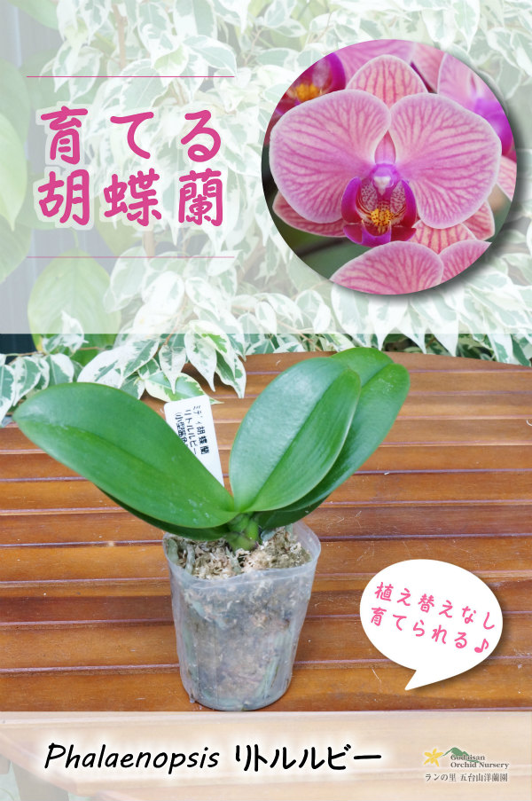 画像1: 【育てる胡蝶蘭♪】【オレンジグレープフルーツの様な色彩のミディ胡蝶蘭】ミディ胡蝶蘭リトルルビー (1)